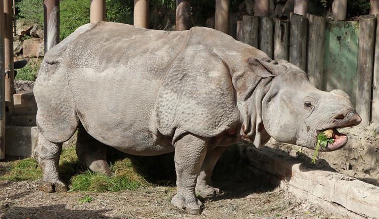 FOTO: Samice nosorožce Růženka odjela z Plzně do zoo v Basileji