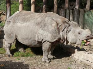 Samice nosorožce Růženka odjela z Plzně do zoo v Basileji